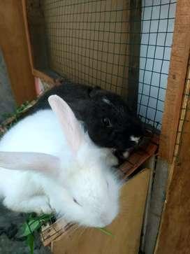 jual kelinci 2 ekor