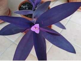 Rheo plants /purple heart/Tradescantia pallaida