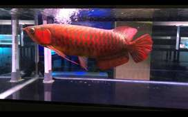 Arwana super red aquarium