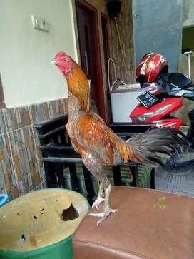 Ayam Bangkok x pakhoy