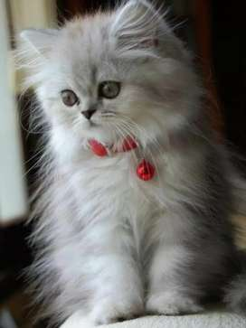 Persian lineages kitten for sale