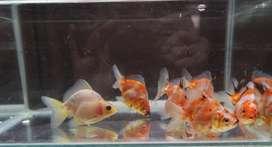Ikan ryukin pancawarna borongan