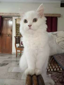 Persian Pure White Kittens