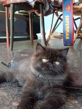 Charlie our Persian cat