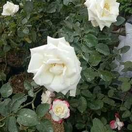 Pohon mawar putih