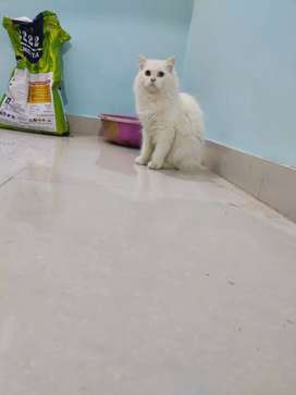 7 months female cat persian