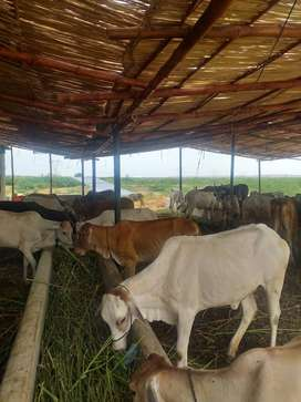 dairy and cattle farm for rent water and shade available Hub Karachi