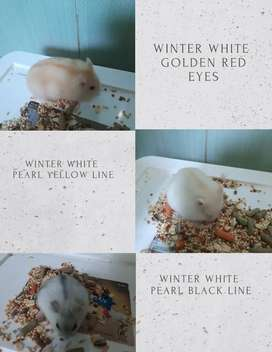 Ready hamster winter white