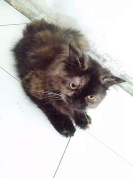 Kucing persia medium birahi 1th