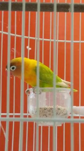 Lovebird bekas lapangan minor
