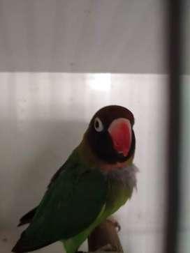 Lovebird blackcheeked betina.