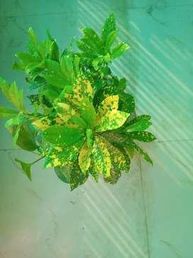 क्रोटन  का पौधा