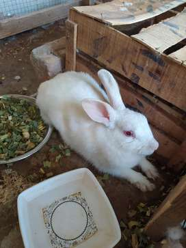 Red eyes rabbit 2 breeder female 1 male + 4 two months babies