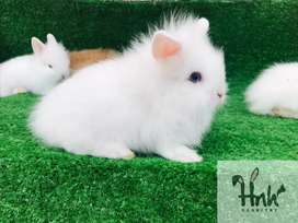 White Red eyes Lop bunnies Available