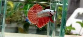 Ikan cupang Cooper red SNI kontes