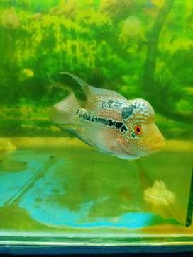Ikan louhan srd