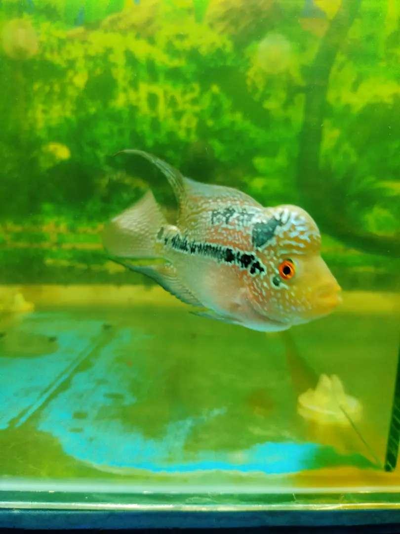 Ikan louhan srd 0