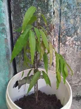 अशोक का पौधा सेल करना है घर के लिए अति शुभ रहता है कृपया संपर्क करें