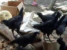 Jual Ayam Cemani Lidah Hitam