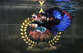 Jual Murah black koi galaxy