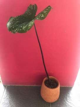 pot terakotta + bunga
