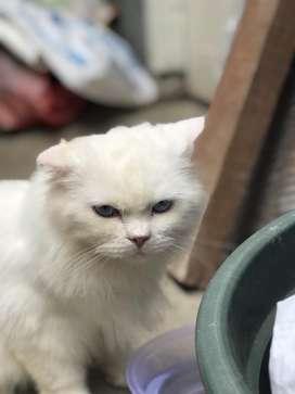 Pepas adop kucing persia jantan