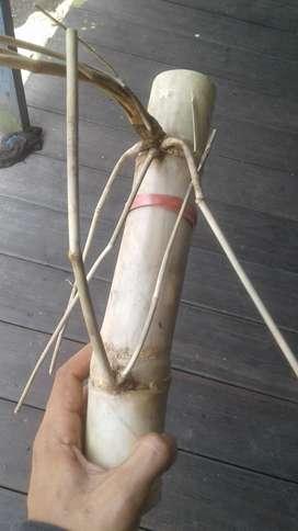 jual bambu antik asli tebangan sendiri