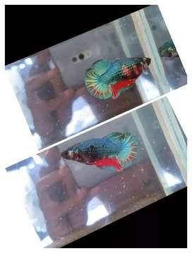 Ikan cupang besgel
