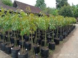 Bibit durian unggul