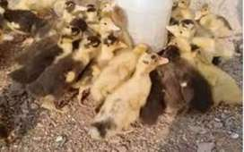 Duck Chicks for sale