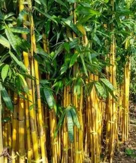 Menjual bambu kuning hias
