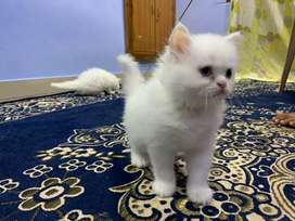 Persian kittens available best quality