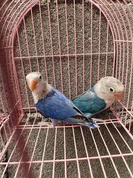 Lovebird Vio sf split Pb x Biru split Pb