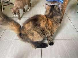 Kucing Persia 2 ekor