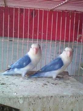 Lovebird Produksi Cantik