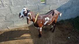 Bakri for sale with 2 babyies
