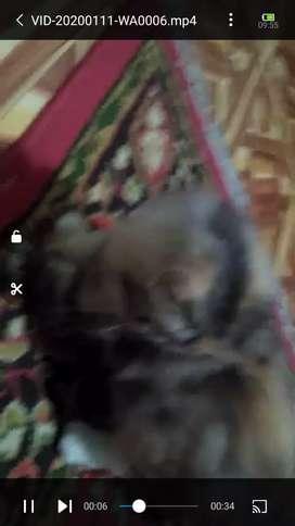 Persia flatnose betina calico belang tiga 5 bulan