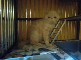 Jasa Pacak Kucing Persia Peaknose Exotic