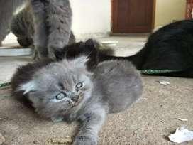 Percian kittens