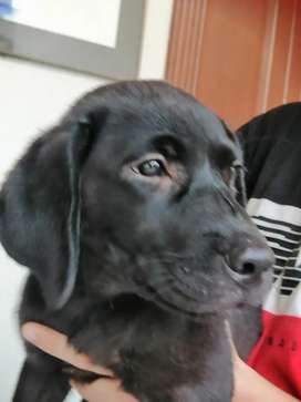 Black 4 mouth old female for sale
