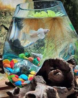 aquarium akar unik / akuarium termurah