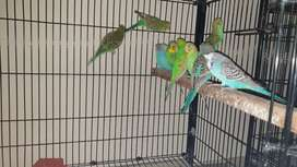 Budgies colonies (breeder and pathay ) for sale