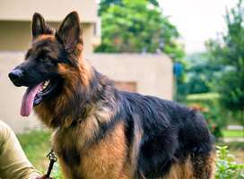 Pedigreed Black Mask Triple Coated German Shepherd Male