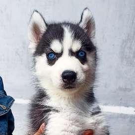 Anak Anjing Siberian Husky