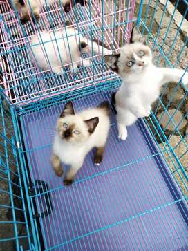 Kucing siams jantan