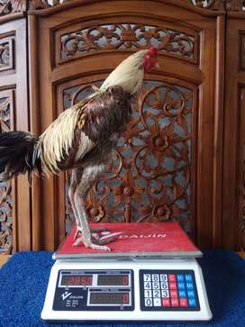 Ayam Bangkok Jago Petarung di Aceh