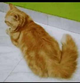 Cari Kucing Persia Betina Birahi