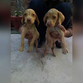 pointer pupy pair available healty and active self feed