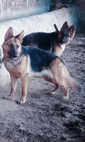 Original German shepherd age 8 months for sell