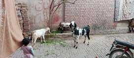 Beautiful Pregnant Goat + Kids for sale Golden Chance